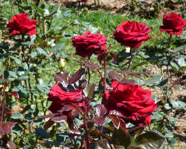 ta cay hoa hong - Tả cây hoa hồng nhung hay nhất