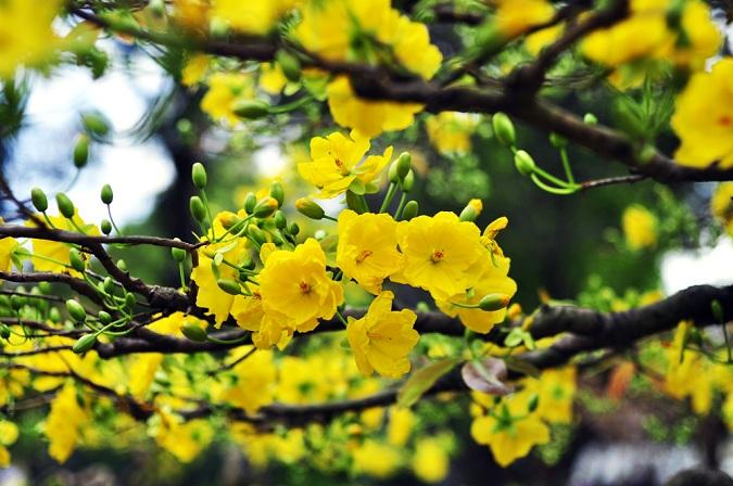 ta cay hoa mai dip tet - Tả cây hoa mai dịp Tết