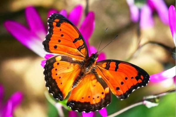 ta con buom buom ma em quan sat duoc - Tả con bươm bướm mà em quan sát được