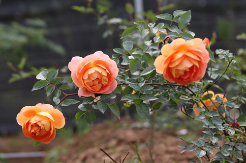 ta vuon hoa nha em 1 - Tả vườn hoa nhà em