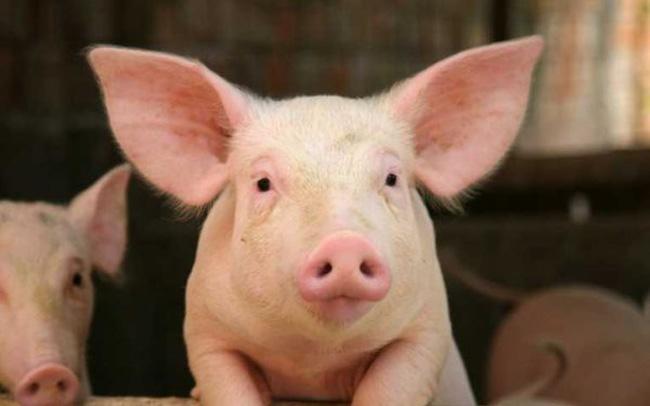 unnamed file 104 - Tả con lợn nhà em hay nhất