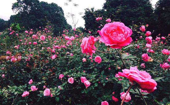 unnamed file 125 - Tả cây hoa hồng mà em thích