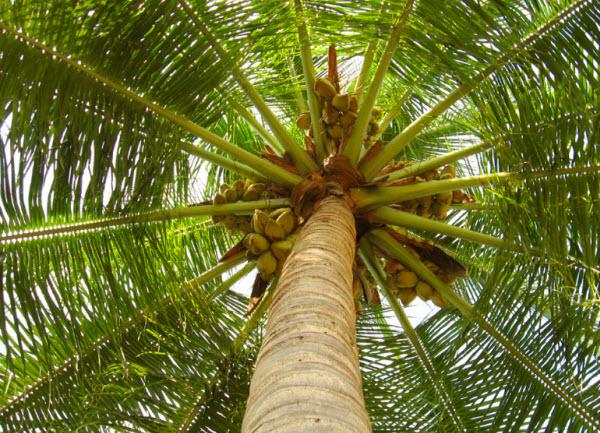 unnamed file 135 - Tả cây dừa lớp 5 mới nhất