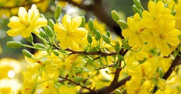 unnamed file 138 - Tả cây hoa mai lớp 7 hay nhất