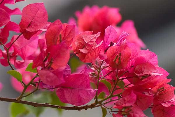 unnamed file 154 - Tả cây hoa giấy mà em quan sát được
